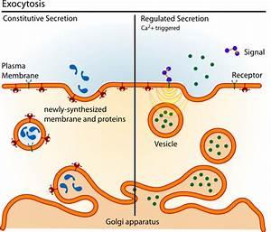Exocytosis Types Clip Art At Clker Com