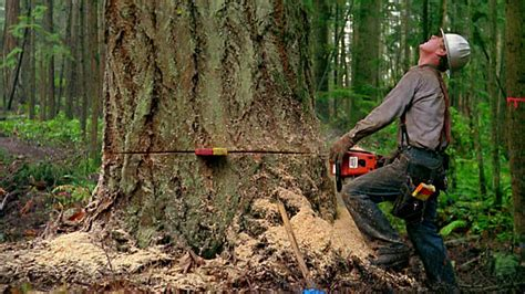 Medium Shot Zoom Out Man Cutting Tree With Chainsaw And