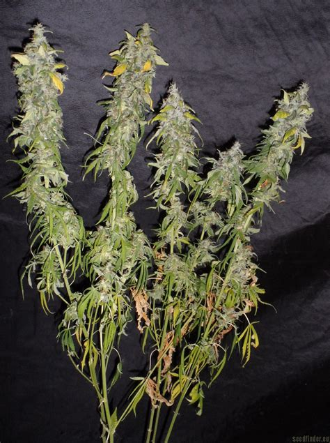northern lights strain all pictures of northern light homegrown fantaseeds into
