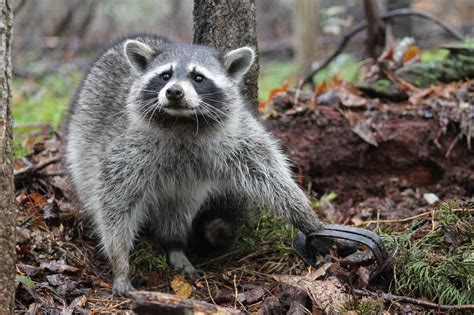 killing animal traps wildlife massive foothold ban filed lawsuit federal program against california lawmakers again animals council fish want game