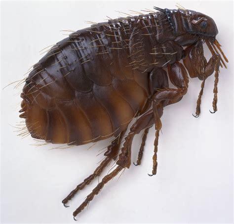 eliminate fleas on hardwood floors flea port elizabeth 187 tel 0828105617 187 port