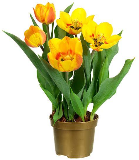 Tulpen Im Topf In Der Wohnung by Tulpe Im Topf Gelb Orange 1a Zimmerpflanzen