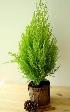 christmas tree smells like citrus lemon cypress the smell is delicious for the table the o jays topiaries and lemon