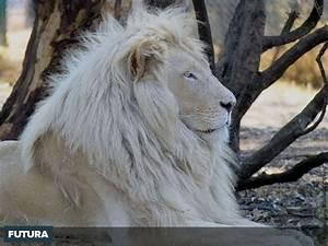 fond d39ecran lion blanc With plan de maison original 14 fond decran lion blanc