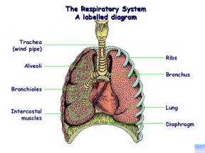 Structures of Respiratory System Diagram Labeled