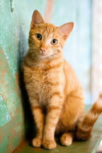 cat for best 25 cats ideas on orange cats