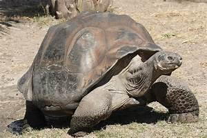 Giant Endangered Tortoises Released On Pinta Island