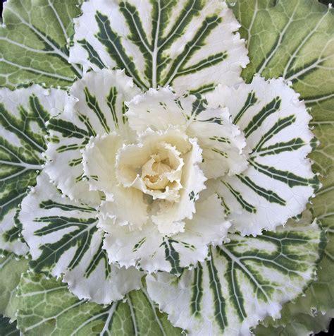 ornamental cabbage perennial file ornamental cabbage 1 4124467613 jpg wikimedia commons