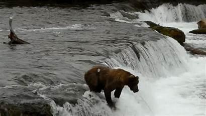 Bears Very Salmon Fish Plunge Australia Take