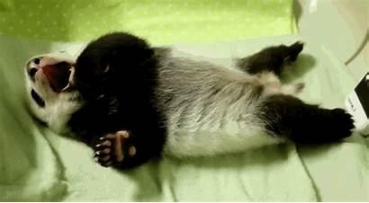Panda Giphy Asleep Falling Sleepy Animals Gifs