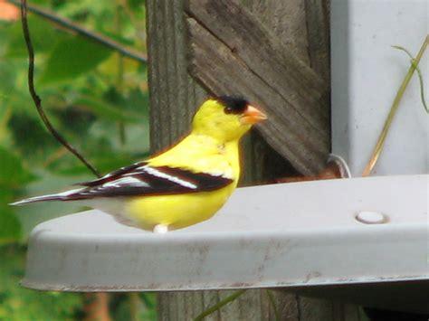 south burlington birds backyard birds  south
