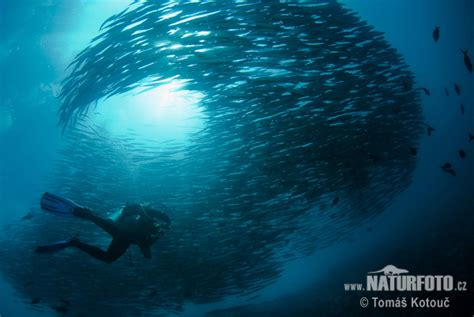 sphyraena ensis pictures mexican barracuda images nature