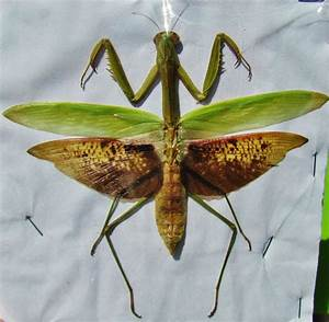 Large Colorful Praying Mantis Mantidae sp. Male Spread 4 ...