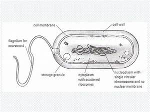 Well Labelled Diagram Of Bacteria Clip Image002 164