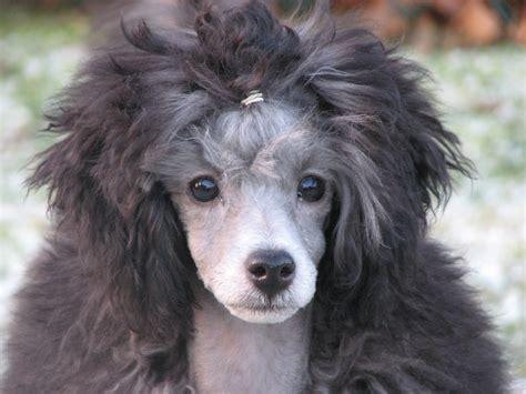 maja   puppy  silver toy poodle  poodles