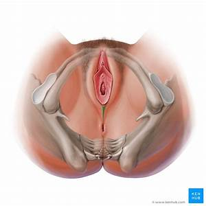 Perineal Region  Anatomy  Definition  Diagram