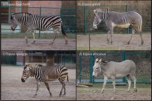 Photographs Of  A  Plains Zebra   B  Grevy U2019s Zebra   C  Mountain Zebra