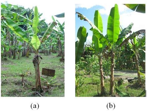 keanekaragaman hayati karakter tanaman pisang