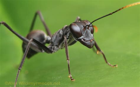 insect wallpaper myrmecos