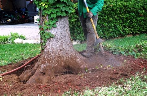 root flare exposure preservation tree services dallas fort worth tx