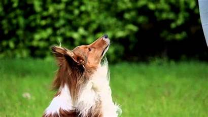 Sheltie Tricks Dog Amazing Diego Wallpapertag M0