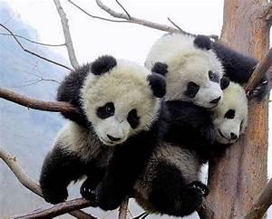 66 beste afbeeldingen over Panda's op Pinterest ...