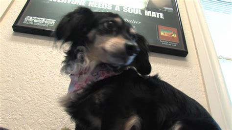 fuzzy friends yippy chihuahua dachshund mix youtube