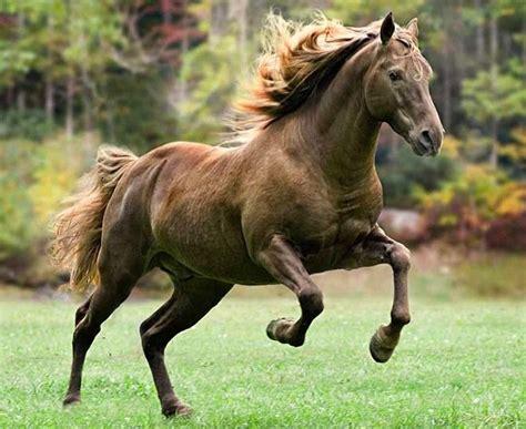 horses action horse rocky mountain stallion animals pretty barrett mark motion markjbarrett