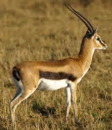 Israeli Gazelle-Israel National Animal | Latest Hd Wallpapers