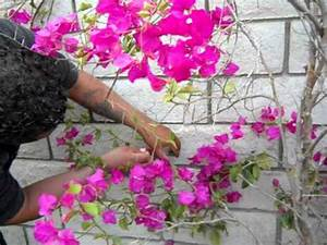 Bougainvillia attaching to a wall - YouTube