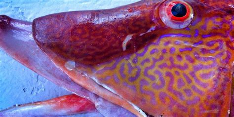 fish gulf mexico hogfish waters federal resources snapper season council fishery lobster gulfcouncil spiny managing