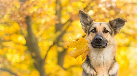 wallpaper dog cute animals leaves autumn  animals