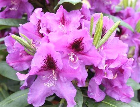 Rhododendron hybrida 'Rasputin'
