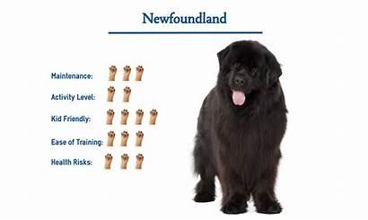 Newfoundland Dog Breed Giant Need Gentle Glance