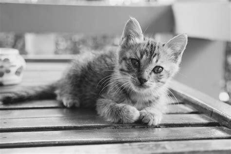 gambar hitam  putih manis imut membelai anak kucing binatang menyusui satu warna