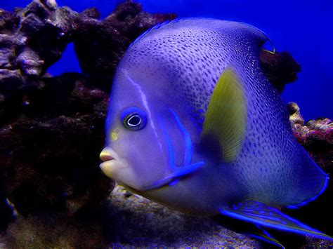 treknature koran angelfish photo