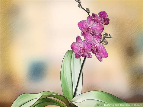 after orchid blooms 3 ways to get orchids to bloom wikihow
