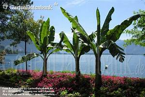 Mediterrane Pflanzen Winterhart : winterharte banane japanische banane japanische faserbanane bilder fotos musa basjoo syn m ~ Frokenaadalensverden.com Haus und Dekorationen