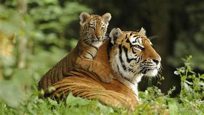 Tiger Siberian Wallpapers Cub Tigers Background Amazing