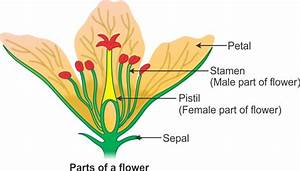 Draw A Well Labeled Diagram Of Flower To Show Its Parts