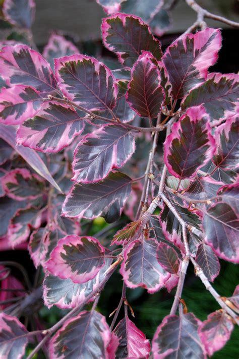tricolor beech tri color beech fagus sylvatica