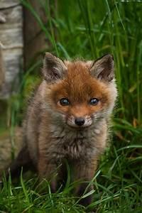 Adorable ♥ Animals ༻ ***Little baby Fox*** | Animals ...