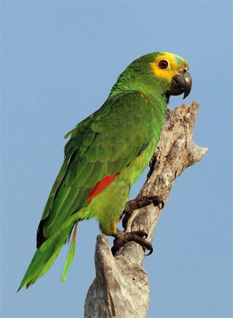 blue fronted turquoise fronted amazon wikipedia