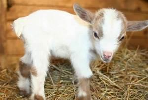 Baby goat :)   Makes me smile   Pinterest   Baby Goats ...
