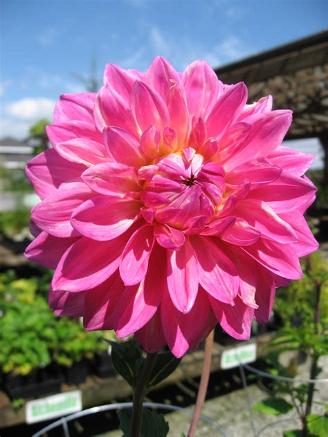 huntersgardencentrecom dahlia