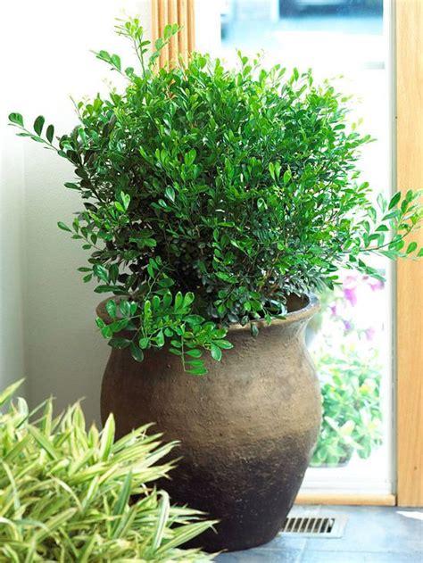 Top Fragrant Houseplants  Orange Blossom, Low Lights And
