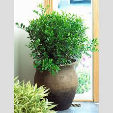 Top Fragrant Houseplants  Orange Blossom, Low Lights And