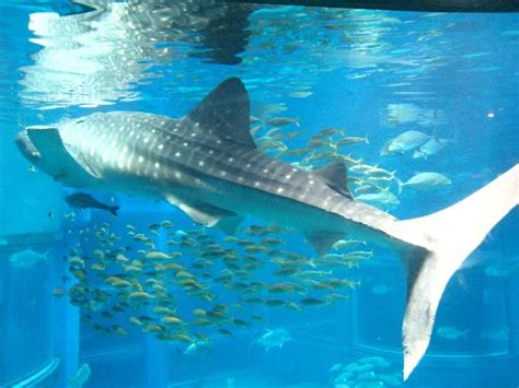 whale shark osaka aquarium the whale shark known in the philippines as butanding picture of osaka aquarium