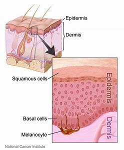 File Layers Of The Skin Jpg