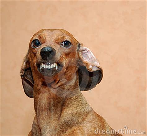 evil dog stock photo image